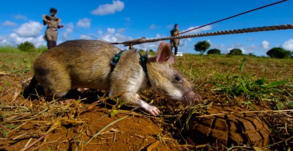 african rat landmine.png