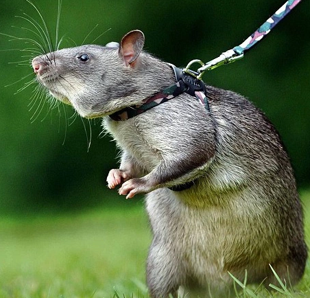 Did you know rats are saving Africans from landmines and TB?