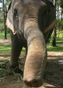 elephant sniffing.png