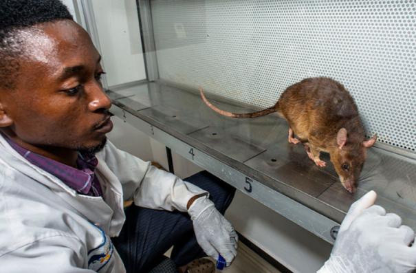 Africa rats tb.png