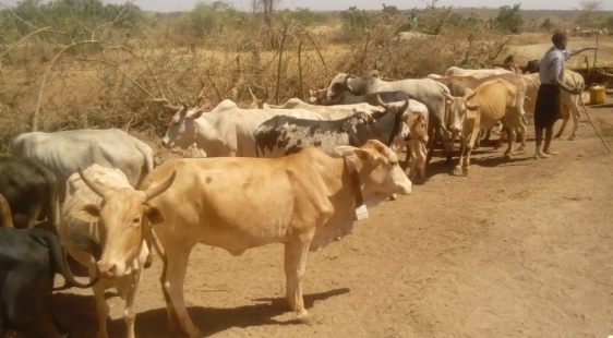 Cattle in Kenya.png