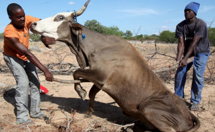 Did You Know Cow Insurance is changing African farmers familynutrition?