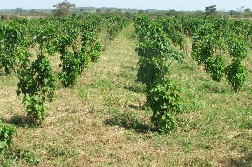 Jatropha ghana africa bio fuel.jpg